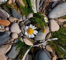 Sea Mayweed, Arran by Richard Ion
