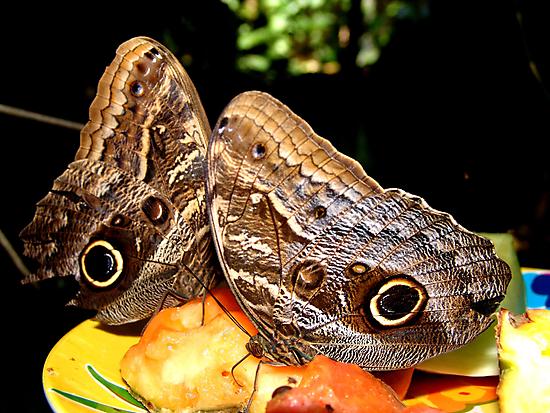 Owl Butterflies by May Lattanzio