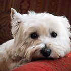 Westie by nicholaspr