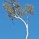 Ghost Gum, Trephina Gorge NP, Northern Territory  by Adrian Paul