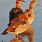 Egyptian Geese, Chobe National Park, Botswana by Adrian Paul