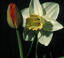 Daffodil & Tulip by mklue