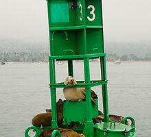 California sea lions resting on a Santa Barbara harbor buoy. by David Jones