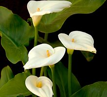 Calla Lilly by David Jones