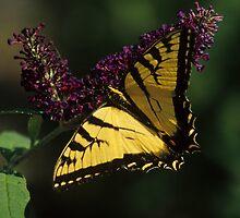 Eastern Swallowtail on Purple Butterfly Bush by mklue