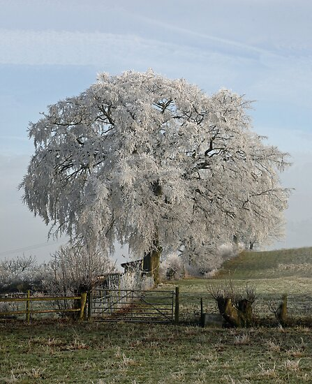 Frosty Beech by John Keates