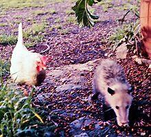 White Leghorn Hen chasing off Mr. Peter Possum. by Edward Henzi