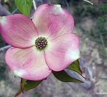 Pink Dogwood Blossom by BillK
