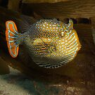 Ornate Cowfish. by James Peake