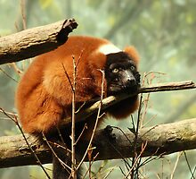 Red Ruffled lemur  by loiteke