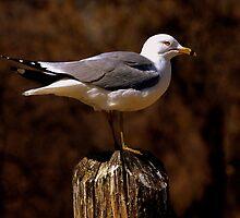 Vigilant Gull by jHarwick