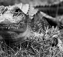 Gray gator by tkecincy