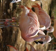 flamingoes taken at Atlanta Zoo by flamingo1