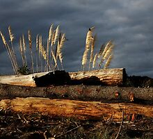 Pampas grass and logs by photohunter