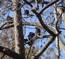 Black Vultures in tree by Gert