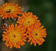 Orange Hawkweed by Robert Abraham