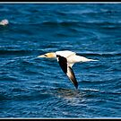 Gannet near the Isle of May by Shaun Whiteman