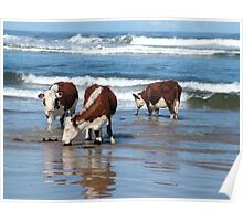 Cattle at shore line at Kings run north of Arthur River in far nor west Tasmania Poster