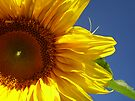 Sunny Sunflower by Tori Snow