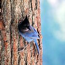 Stellers Jay by Tori Snow