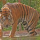 Sumatran Tiger by FASImages