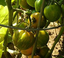 Heirloom Tomatoes by Cathy Klima