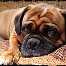 Perfect Pug by Barb Leopold