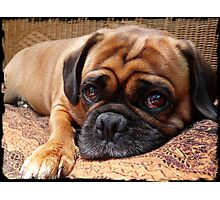 Perfect Pug Photographic Print