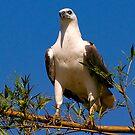 Sea eagle by bettyb