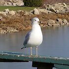 seagull by Dave & Trena Puckett
