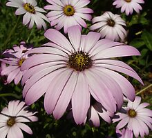 Purple Anemones by shane22