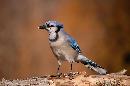 Pretty Blue Jay by Gregg Williams