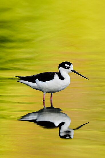 Black-Necked Stilt by Nathan Lovas Photography