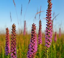 Blazing Star Wildflowers by Nathan Lovas Photography