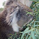 Koala munching lunch by georgiegirl