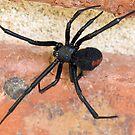 Red Back spider by Vickie Burt