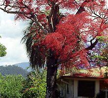 Illawarra Flame Tree - Murwillumbah, NSW  Australia by Bev Pascoe