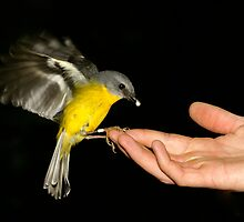 Eastern Yellow Robin by Chris Morecroft www.Aussiefeathers.com.au