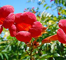 Splash of Red - Bignonia by wotzisname
