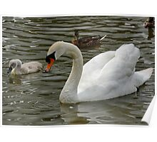 Swan and Baby Poster