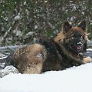 Snow Dog by JGetsinger