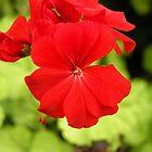 Red Flower by Sabee  Kazmi