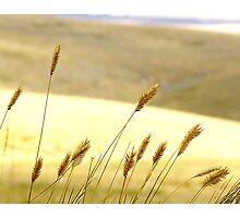 Prairie Grass Photographic Print