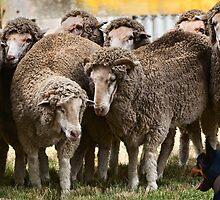 Sheepdog trial by Geraldine Lefoe