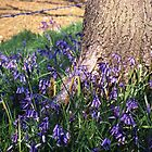 Bluebells1 by Peter Stephenson