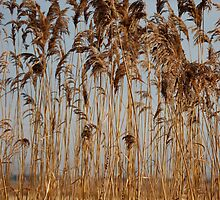 Autumn Reeds by Louise Sharpe
