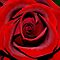 A single red rose for you. x by Karen  Betts