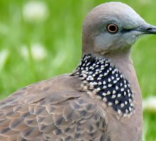 Malay Spotted Dove - NZ Sticker