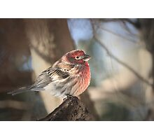Male House Finch - Carpodacus Mexicanus Photographic Print