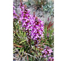 Flower Spike of the Grass Trigger Plant. Mt Buffalo Photographic Print
